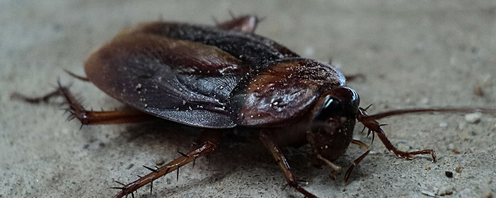 Anston Pest Control will help you to get rid of Cockroaches. Photo of a cockroach