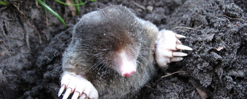Get rid of Moles. A photograph of a Mole.