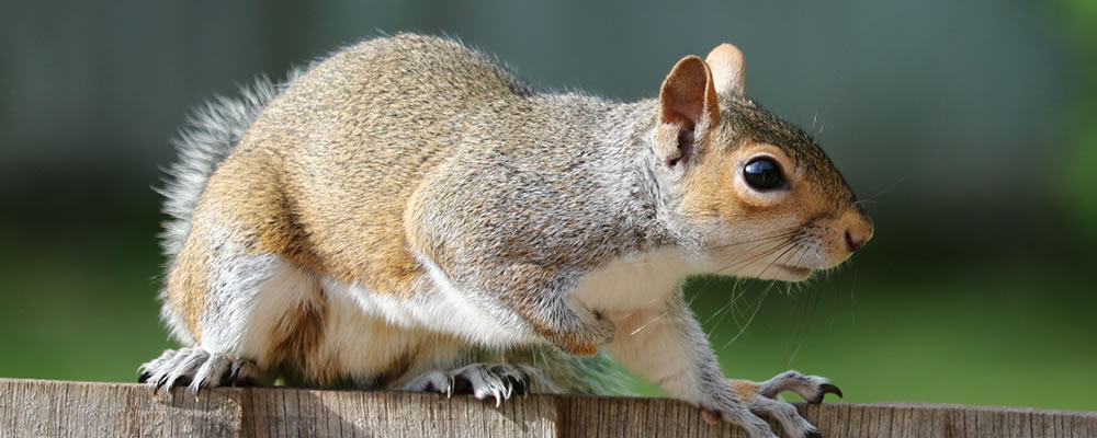Get rid of squirrels in Derbyshire and south Yorkshire