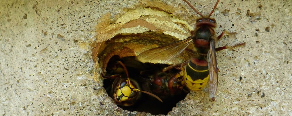 Get rid of wasps safely. Photograph of a wasp nest.