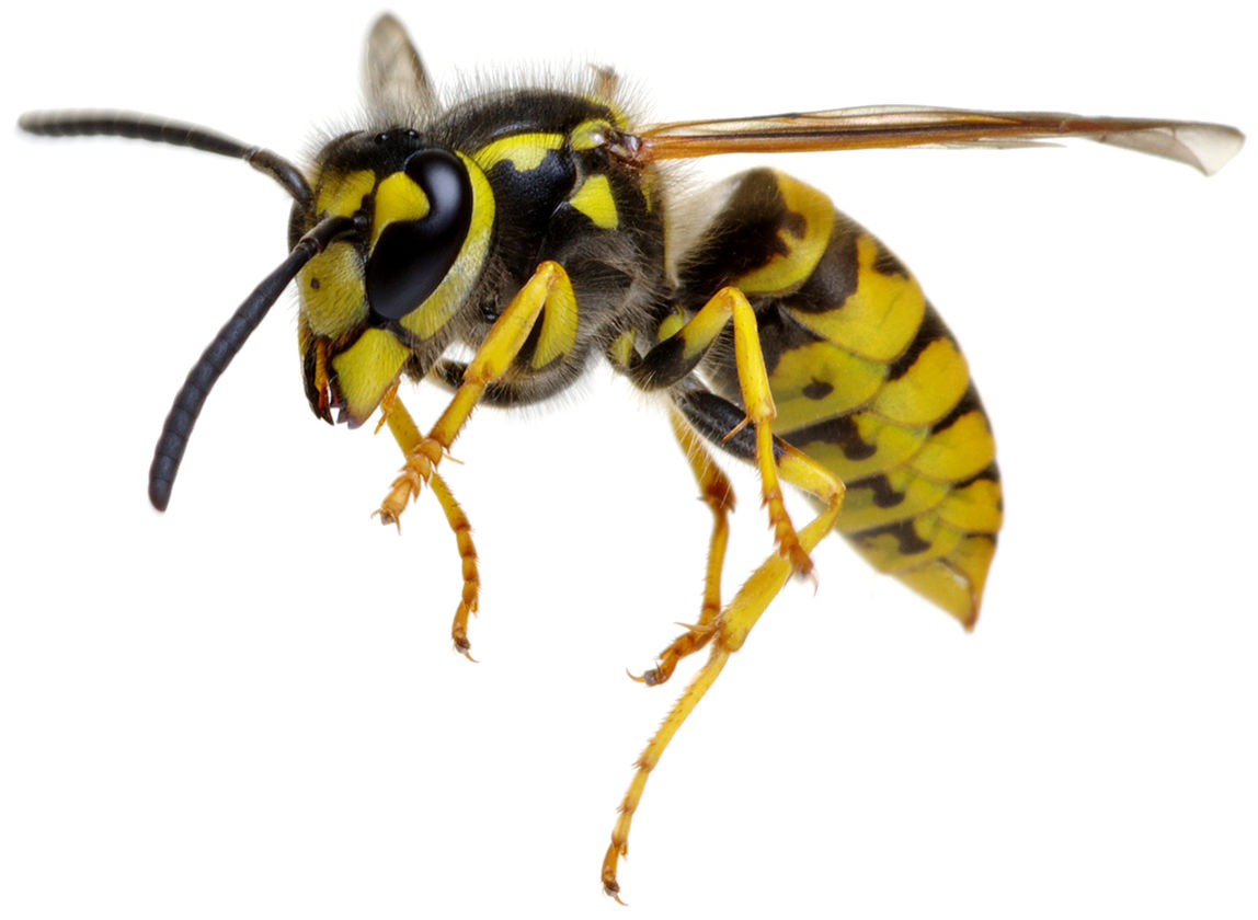 Proffesional pest control phot of a wasp